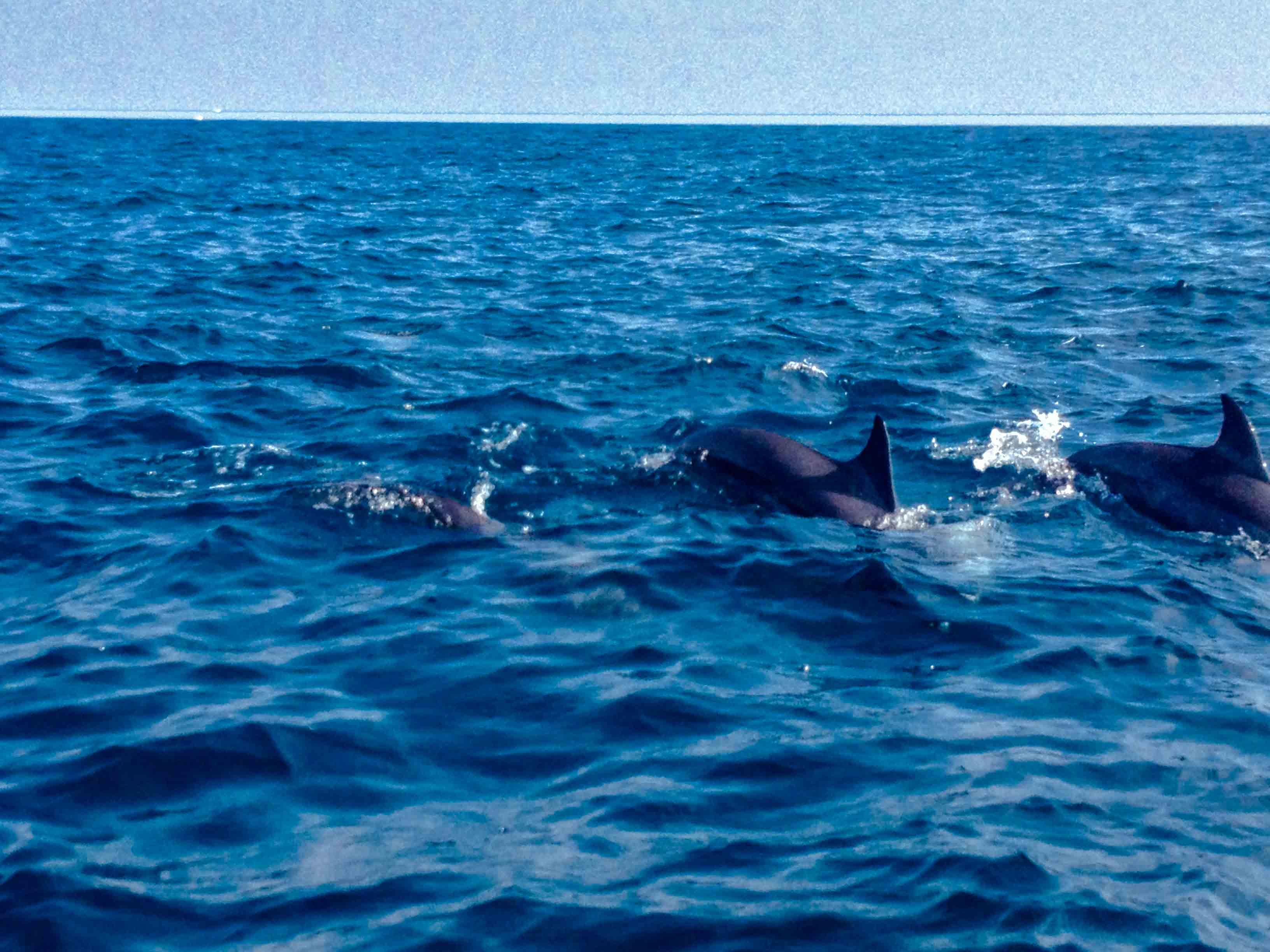 Sri Lanka Delfine
